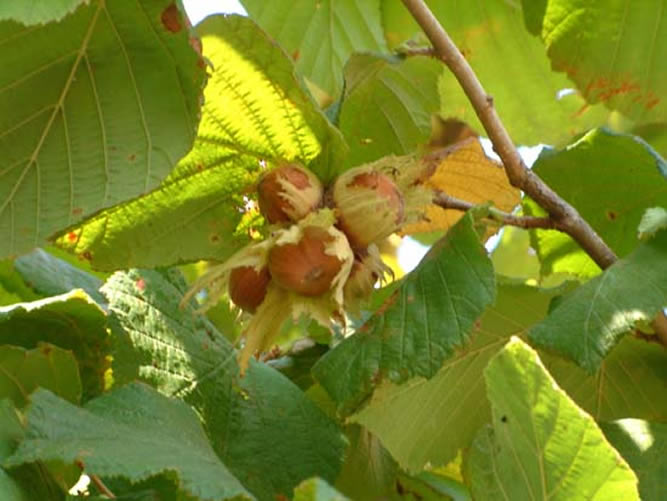 nocciole mature pronte albero pianta