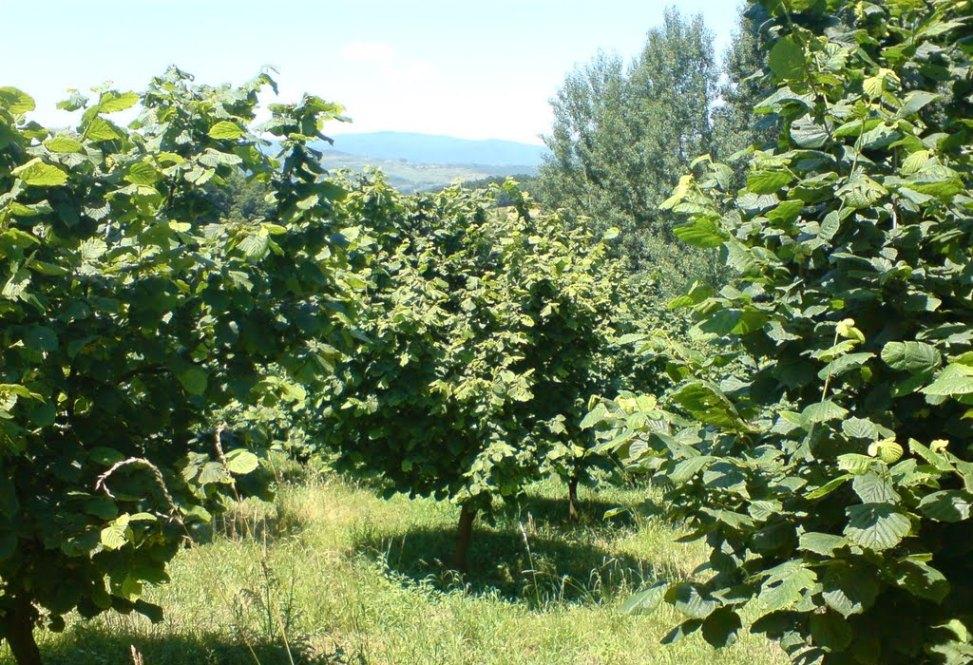 Pianta nocciolo nocciola tree for Pianta nocciolo prezzo